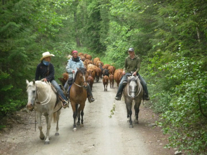 Cattle drive with Santana in the Raush Valley
